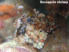 Haraqurin shrimp: Driving and Snorkeling in Thailand by Lantaresort.com
